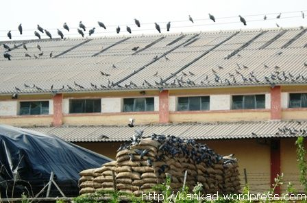 बीकानेर. लालगढ़ रेलवे स्टेशन के पास सरकारी गोदाम और कबूतरों के झुंड.