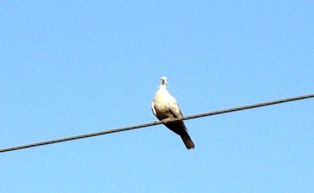 कमेड़ी यानी कबूतर प्रजाति का एक ही पक्षी. राजस्थान में बहुतायत से मिलता है.