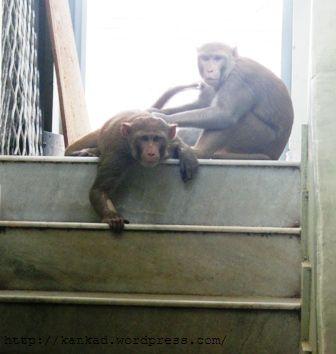 घर की सीढियों पर दो उत्पाती बंदर.