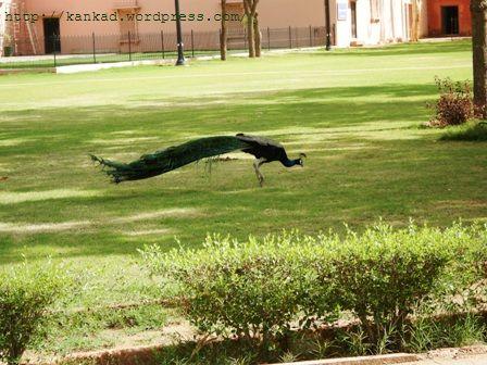 बीकानेर. सादुल सिंह संग्राहलय के बाहर लालगढ़ पैलेस के दालान में विचरता मोर.