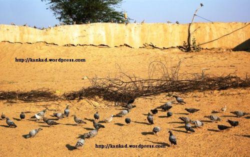 थार के एक गांव बीरमाना में एक घर की बाखळ में सुबह शाम ढेर सारे कबूतर बैठे रहते हैं. जमीन से लेकर आसपास की �ींतों और लकडि़यों पर �ी. यह दिसंबर 08 के अंतिम दिनों में ढलती शाम का समय है. (कैमरा Nikon Coolpix)
