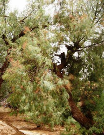 फराश की पत्तियों से गुजरती हवा बहुत तेज सायं सायं करती है.