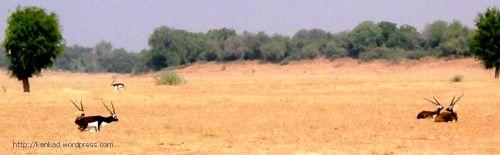 रिडमलसर की रोही में धोरों में बैठे काले हिरण.