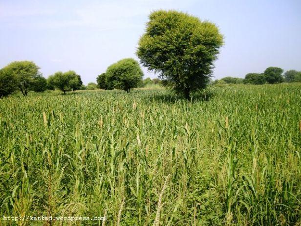 दिल्ली सीकर बाइपास के आसपास बाजरे के खेत.